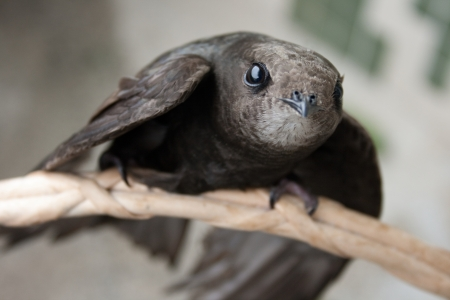 swift: The Common Swift (Apus apus) is the swift which is more abundant in the cities and towns of Europe. Stock Photo