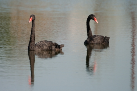 cygnus atratus: The Black Swan (cygnus atratus) breeds mainly in the southest and southwest regions of Australia. In Europe can be seen in zoological gardens, parks and bird collections.