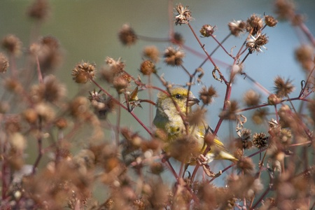 greenfinch: An European Greenfinch feeding beeind the seeds plant