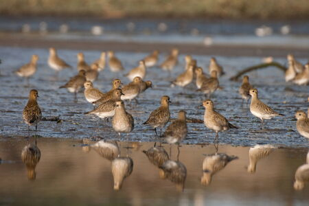 pluvialis: A flight of European Golden Plover resting and feeding after migration from the Northern Europe