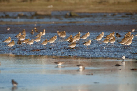 A flight of European Golden Plover resting and feeding after migration from the Northern Europe