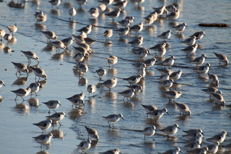 charadriiformes: A flock of birds (Sanderling) wintering on the Atlantic coast in the North of Portugal Stock Photo