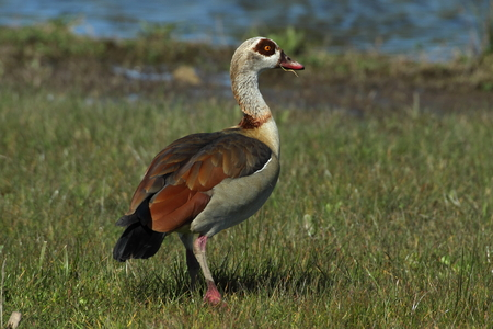 anatidae: The Egyptian goose (Alopochen aegyptiacus) is a member of the duck, goose, and swan family Anatidae. It is native to Africa south of the Sahara and the Nile Valley. Also can be found in Europe.