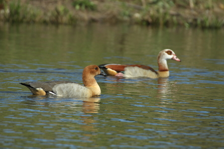 alopochen: Among animals there may be crosses between species causing hybrids. In this case we have an hybrid between Egyptian Goose (Alopochen aegyptiacus) and Ruddy Shelduck (Tadorna ferruginea)?