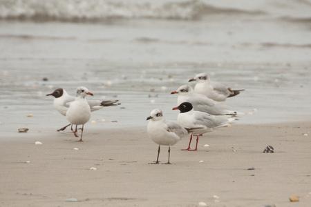 地中海カモメ (都 melanocephalus) 移行時にビーチに立っています。