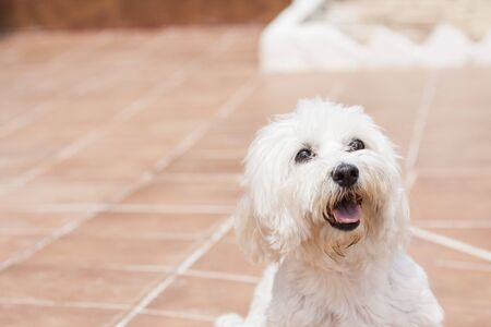 Bichon Maltese dog on the terrace