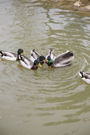 group of common ducks outdoors