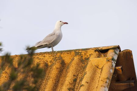seagull on roof of a Valencian hut