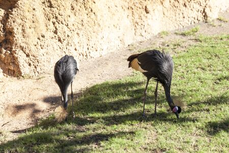 Valencia, Spain,3,6,2014: The Abdim's stork (Ciconia abdimii) at the bioparc zoo in Valencia