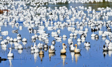 large flock of snow and ross geese in a pond at Bosque Del Apache game preserve
