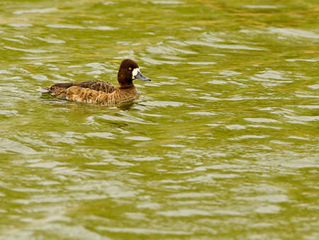scaup: Lesser Scaup female swimming in pond Stock Photo