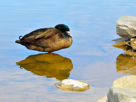 Male Mallard duck standing on rock in water  photo