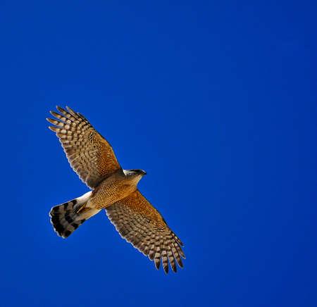 hawk: Coopers hawk flying against blue sky