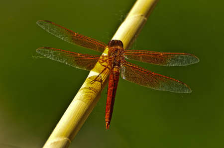skimmer: Flame skimmer dragonfly perched on a branch  Stock Photo