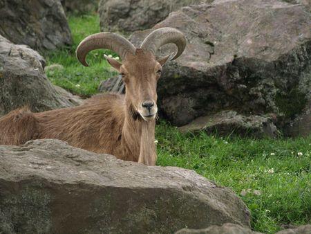 mountain goats: Capre di montagna