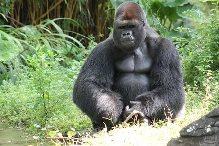 Silver Back Gorilla photo