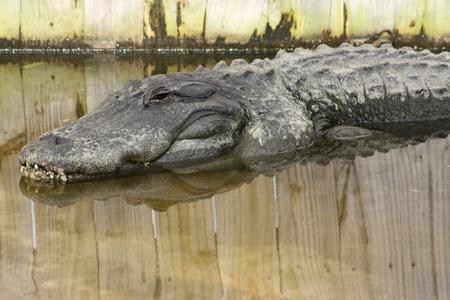 Alligator Stock Photo - 11252456