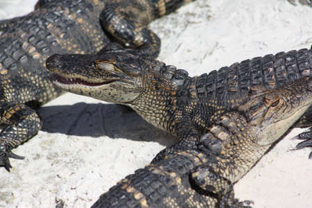 alligators: Alligators Stock Photo