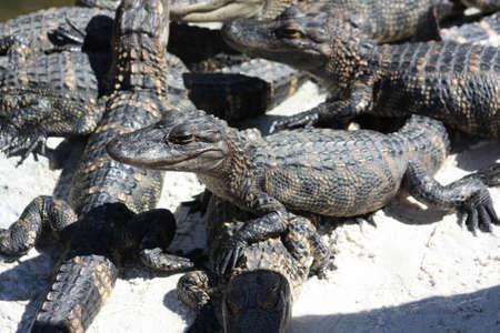 Alligators Stock Photo - 11430003