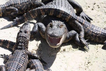alligators: Alligators Stock Photo