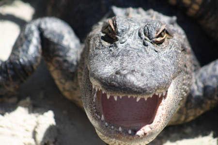 Alligators Stock Photo - 11429999