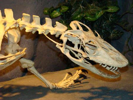 Komodo Dragon skeleton Stock Photo - 12339788