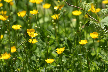buttercups: Buttercups Stock Photo