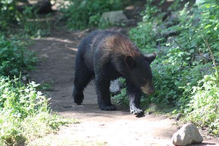 bear cub: Bear cub Stock Photo