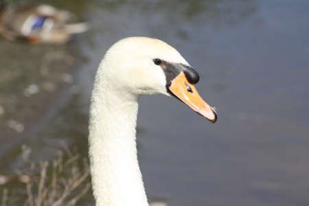 swans: White Swans