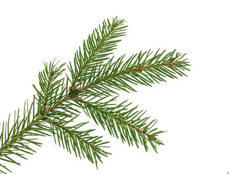 Branch of Christmas tree. Green spruce or pine branch with needles. Isolated on white background. Close Up top view.