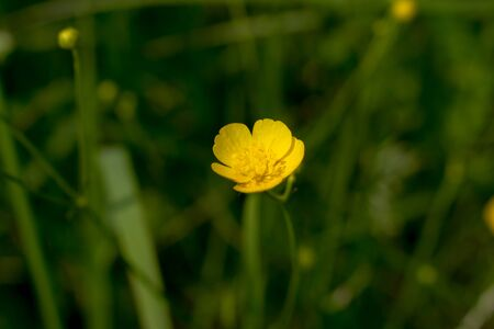 yellow flower on green background of grass