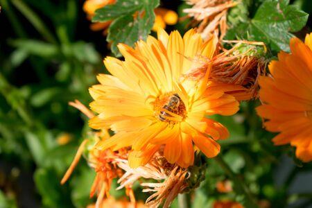 bee on yellow flower Zdjęcie Seryjne