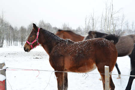 bare wire: Horses in winter behind a wire fence