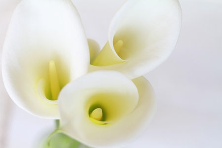 Calla lily, flowers walpaper, background Stock Photo