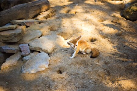 Cute desert fox Fennec. Small, smaller than cat, Fox with huge ears and long fluffy tail. On brief pointed muzzle big black eyes, black nose, big ears. Popular animal in Central Sahara Stock fotó