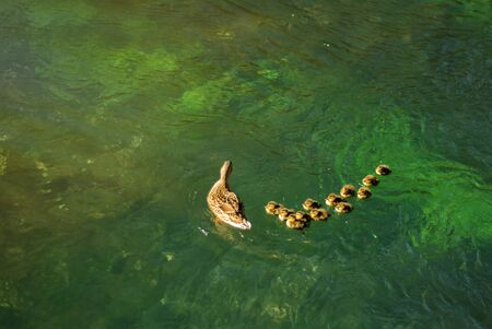 Ducks follow me, cute ducklings, duck babies, following mother in queue, lake, symbolic figurative harmonic peaceful animal family portrait following team grouping together group trust safety harmony