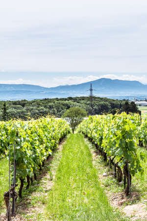 acres: View over vineyards in French  Swiss countryside, with the alps and the mont blanc mountain range in the horizon.