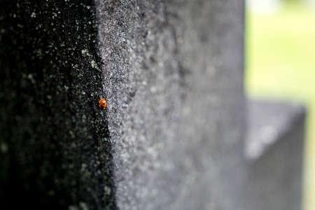 Ladybug on cross in graveyard, Stockholm, Sweden. Coccinellidae. Stock Photo