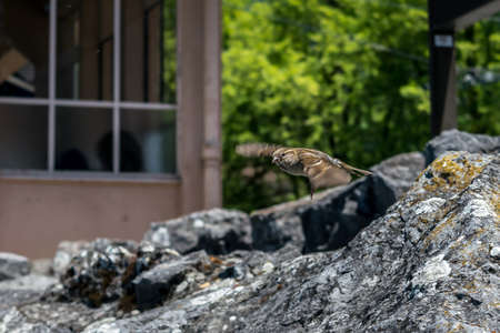 sudden: Tiny bird  sparrow flying into the air from cliff by beach in Montreux.