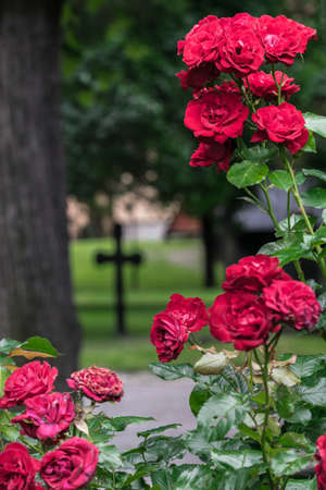 belief system: Roses and cross in graveyard.