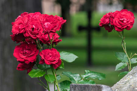 afterlife: Roses and cross in graveyard.