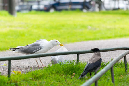 plastic bag: Seagull with plastic bag of food in park.