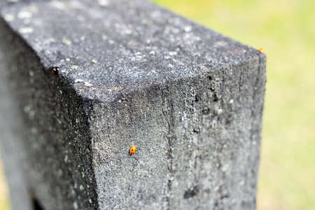 coccinellidae: Ladybug on cross in graveyard, Stockholm, Sweden. Coccinellidae. Stock Photo
