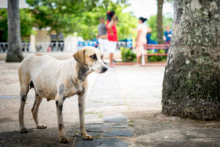 move in: Vinales, Cuba: Dog thinking and ready to move, in Vinales  Vi?ales, Cuba. Stock Photo