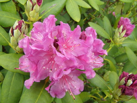 upgrowth: Foto with blooms of plant named rhododendron