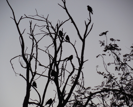 duskiness: Silhouettes of many birds sitting on a tree in twilight