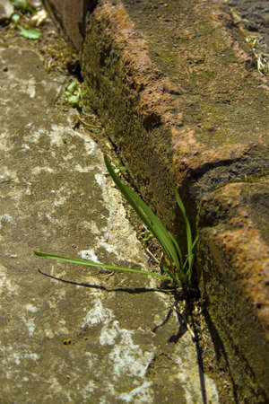 unwanted: A weed growing out of the brick edging of a concrete garden path