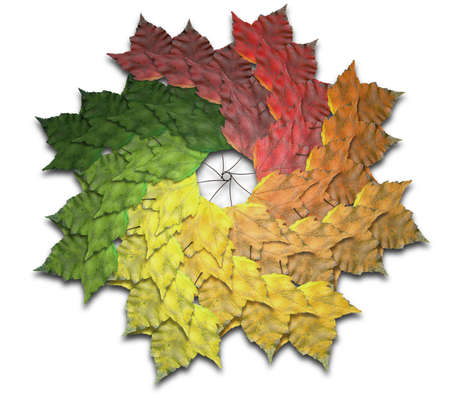 spiralling: A spiralling spectrum of 40 maple leaves all in varying and progressive stages of colors of autumn