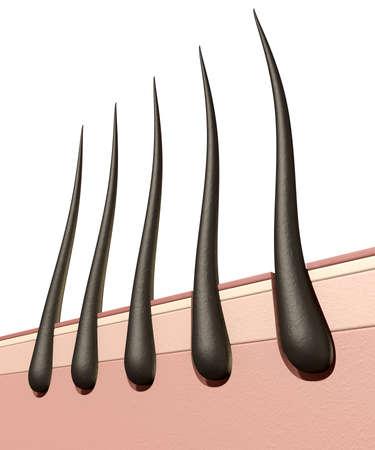 分離の白い背景の上の卵胞に根ざしている質感の髪の毛を示す人間の皮膚の断面の顕微鏡のクローズ アップ ビュー 写真素材