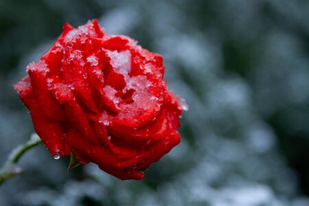 Red rose with drops in the snow.